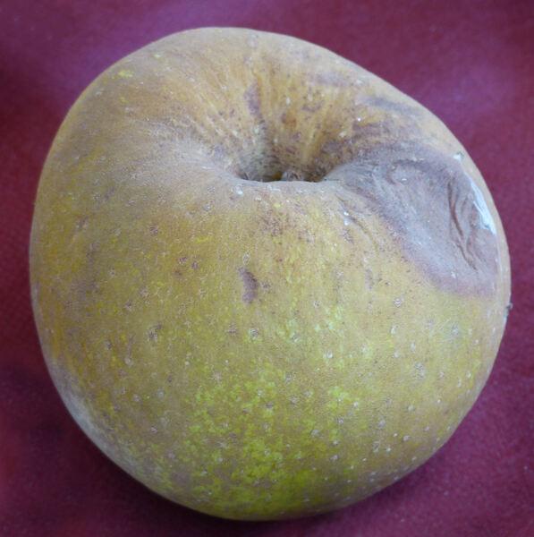 Malus domestica (Borkh.) Borkh. 'Carpendola Dorata'
