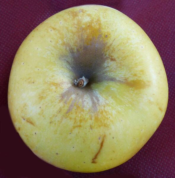 Malus domestica (Borkh.) Borkh. 'Renetta di Torrechiara'