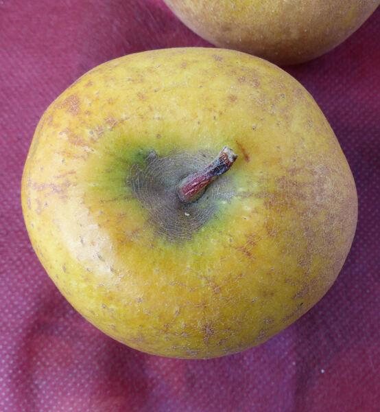 Malus domestica (Borkh.) Borkh. 'Ruggine Gialla'