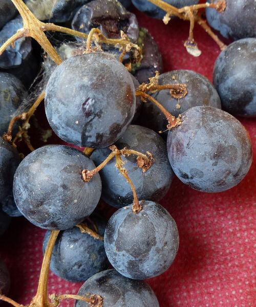 Vitis vinifera L. 'Moscato Reale Rosso'