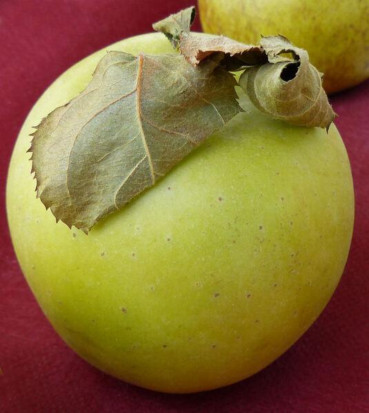 Malus domestica (Borkh.) Borkh. 'Melone'