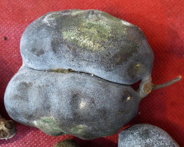 Asimina triloba (L.) Dun.