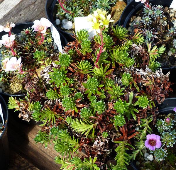 Saxifraga x apiculata Engler 'Pungens'