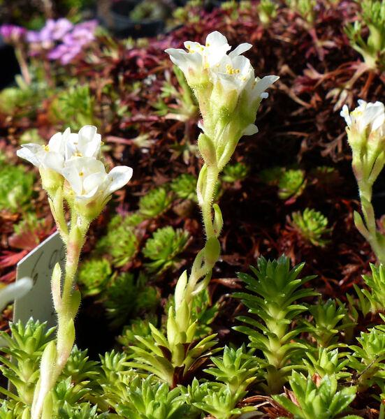 Saxifraga x apiculata Engler 'Alba'