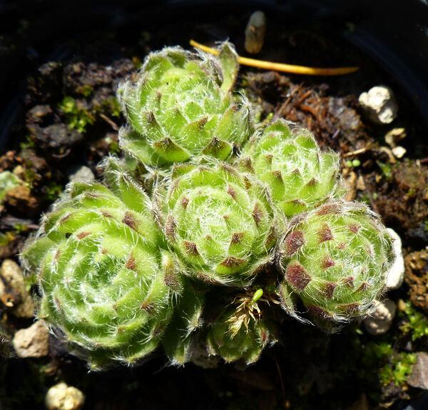 Sempervivum ciliosum Craib var. borisii (Degen & Urum.) P.J.Mitch.