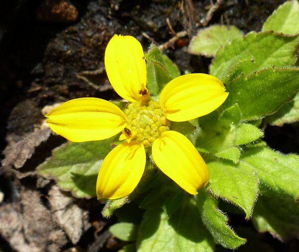 Chrysogonum virginianum L.