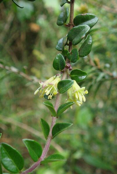 Lonicera ligustrina Wall. subsp. yunnanensis (Franch.) P.S.Hsu & H.J.Wang