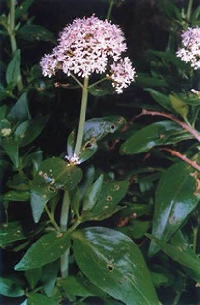 Centranthus trinervis (Viv.) Bég.