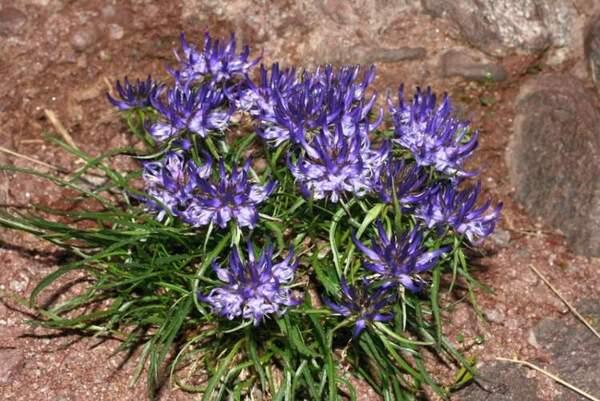Phyteuma hedraianthifolium Rich.Schulz
