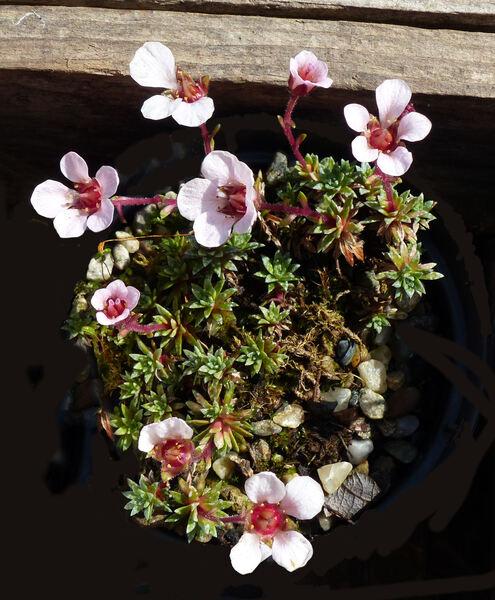 Saxifraga 'Peach Blossom'