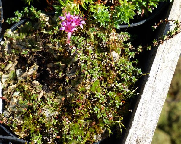 Saxifraga retusa Gouan subsp. augustana (Vacc.) D.A.Webb