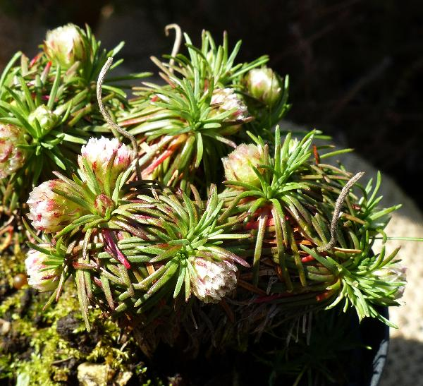 Armeria juniperifolia (Vahl) Hoffmanns. & Link 'Brookside'