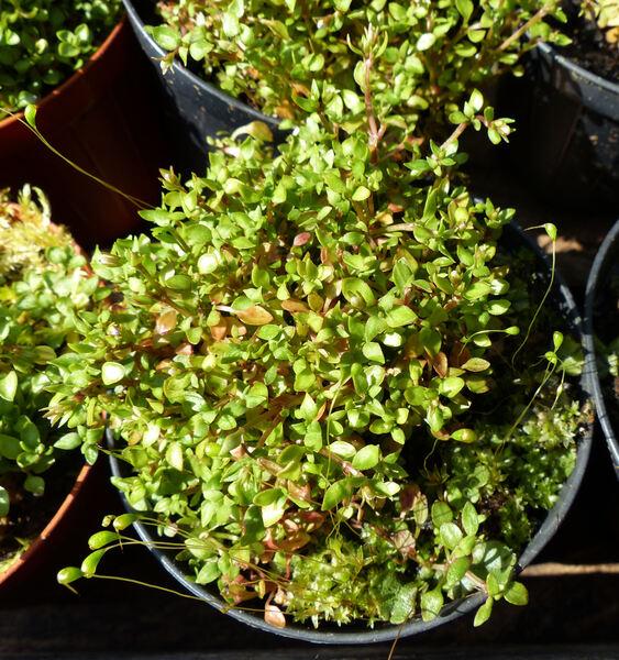 Houstonia caerulea L. 'Alba'