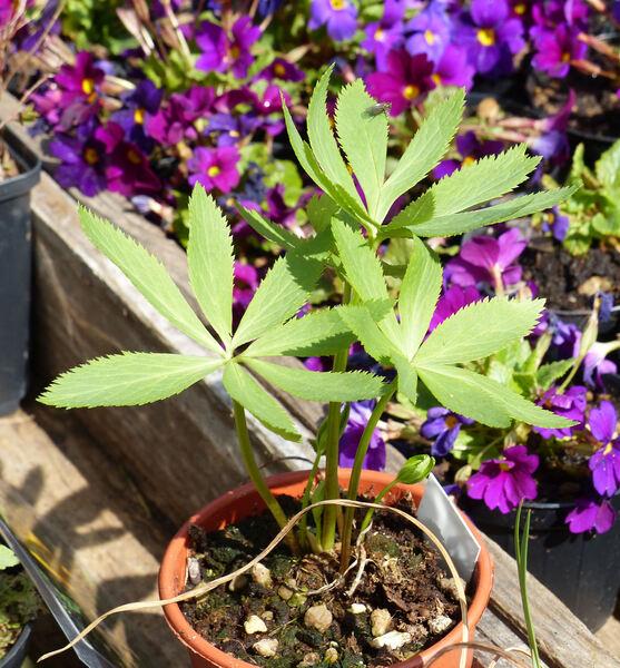 Helleborus purpurascens Waldst. & Kit.