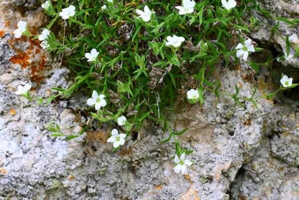 Mcneillia graminifolia (Ard.) Dillenb. & Kadereit subsp. rosanoi (Ten.) F.Conti, Bartolucci, Iamonico & Del Guacchio