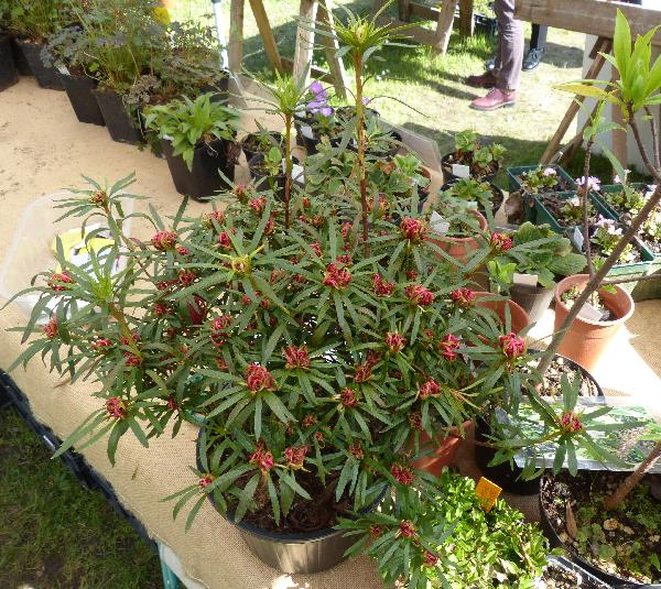 Rhododendron stenopetalum (Hogg) Mabb. 'Linearifolium'