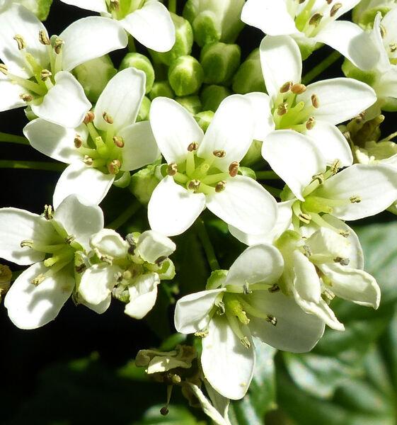 Eutrema japonicum (Miq.) Koidz.