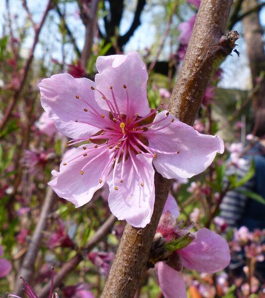 Prunus persica (L.) Batsch 'Tramontos'