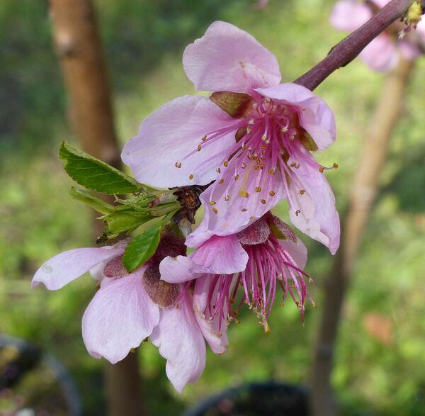 Prunus persica (L.) Batsch 'Bella di Cesena'
