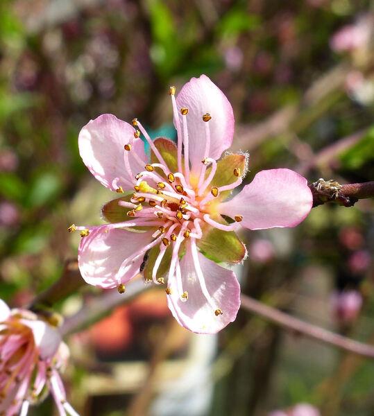 Prunus persica (L.) Batsch 'Lorenzino'
