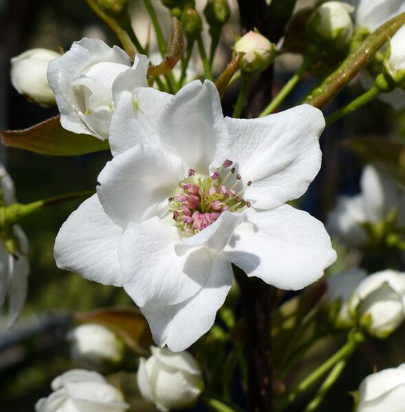 Pyrus pyrifolia (Burm. f.) Nakai 'Hosui'