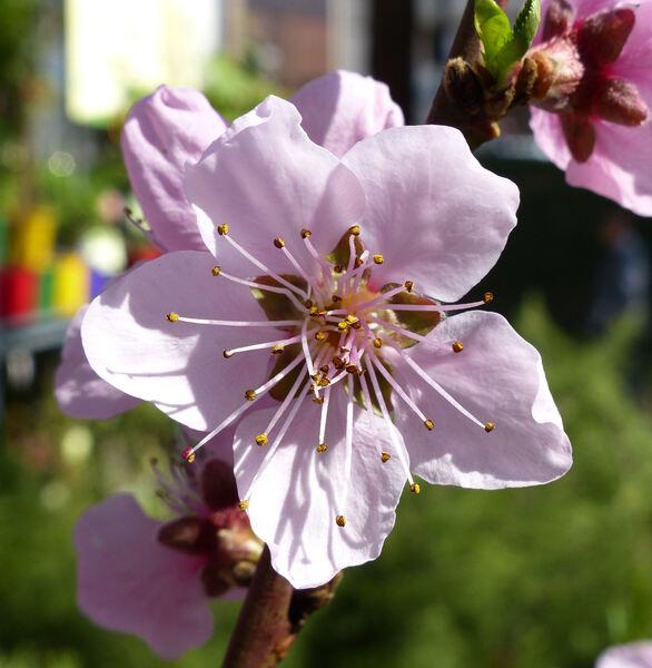 Prunus persica (L.) Batsch 'Regina d'Ottobre'