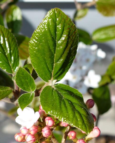 Viburnum x burkwoodii Burkwood & Skipwith 'Anne Russell'