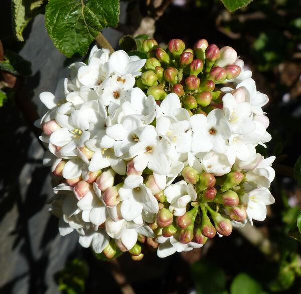 Viburnum carlcephalum Burkw. ex Pike