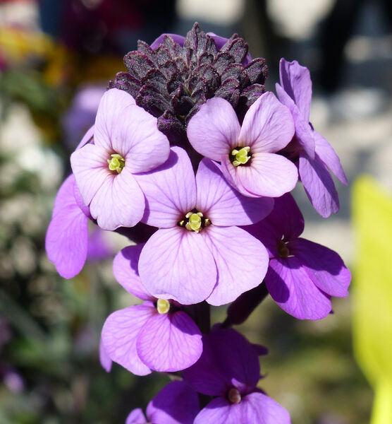 Erysimum linifolium (Pers.) J.Gay 'Bowles Mauve'