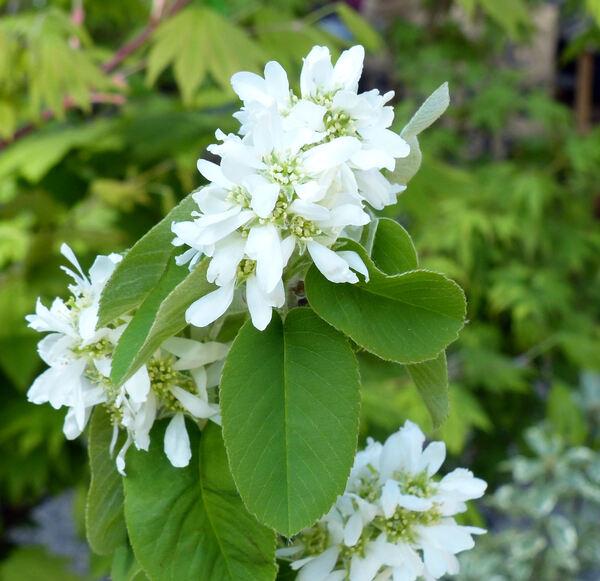 Amelanchier canadensis (L.) Medik.