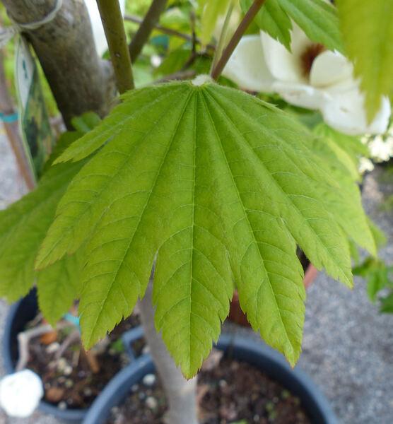 Acer japonicum Murray 'Vitifolium'