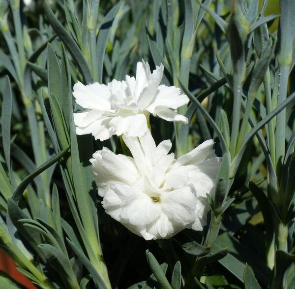 Dianthus 'Witta'