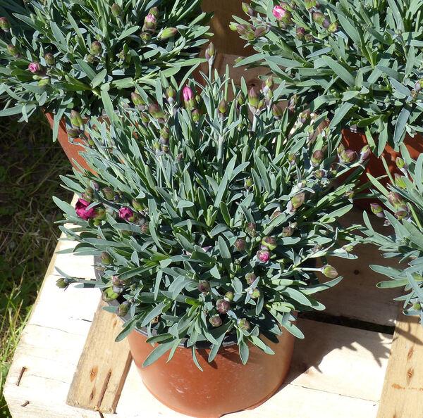 Dianthus 'Velvet'