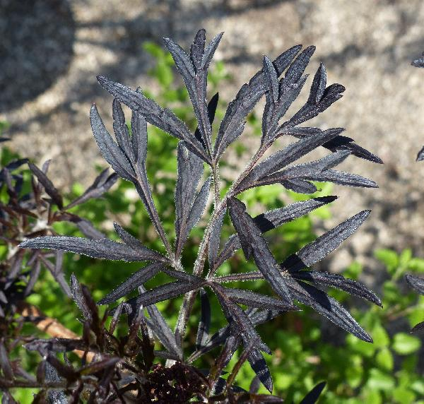 Sambucus nigra L. 'Black Lace'