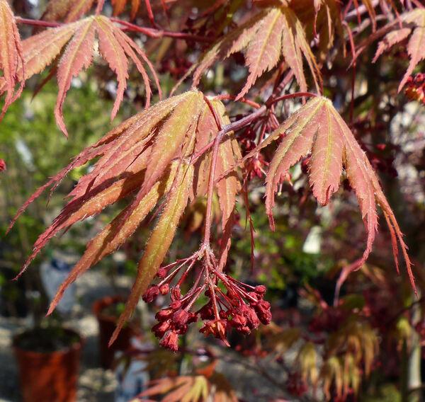 Acer palmatum Thunb. ex Murray 'Osakazuki'