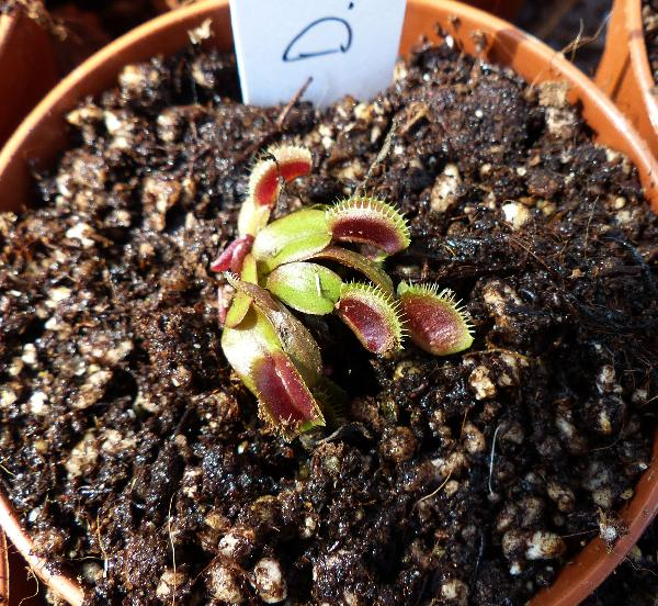 Dionaea muscipula Soland. ex Ellis 'Royal Red'