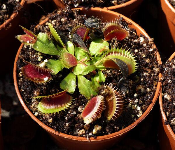 Dionaea muscipula Soland. ex Ellis 'Fico d'India/Ibrido A'