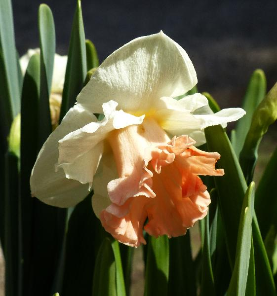 Narcissus 'Pink Parasol'