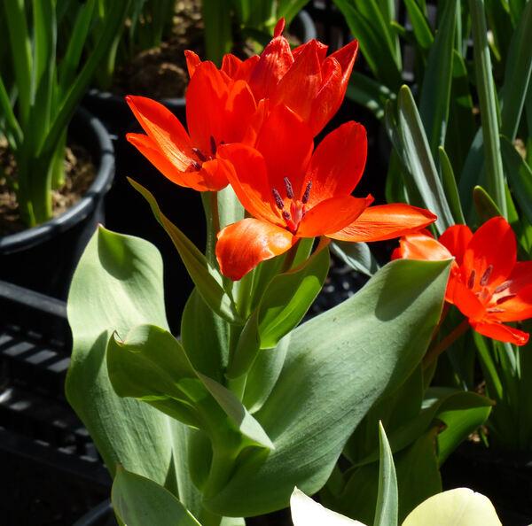 Tulipa praestans H.B.May 'Fusilier'