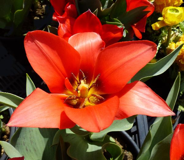 Tulipa 'Oratorio'