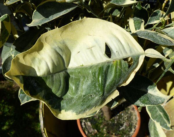 Citrus x sinensis (L.) Osbeck 'Tarocco Variegato'