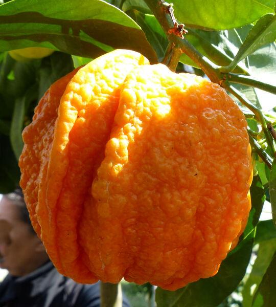 Citrus x aurantium L. 'Canaliculata'