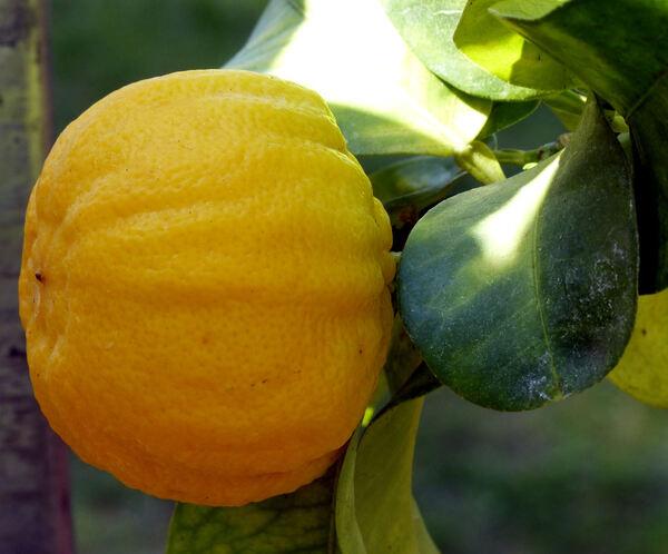 Citrus x limon (L.) Osbeck 'Mellarosa'