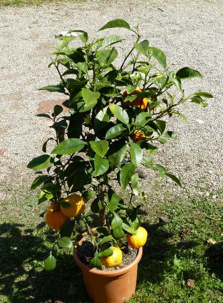 Citrus x aurantium L. 'Fasciata'