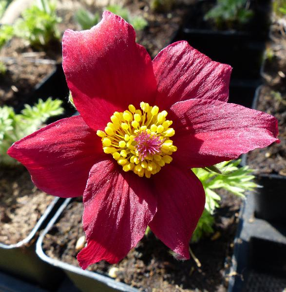 Pulsatilla vulgaris Mill. 'Pinwheel Dark Red Shades'