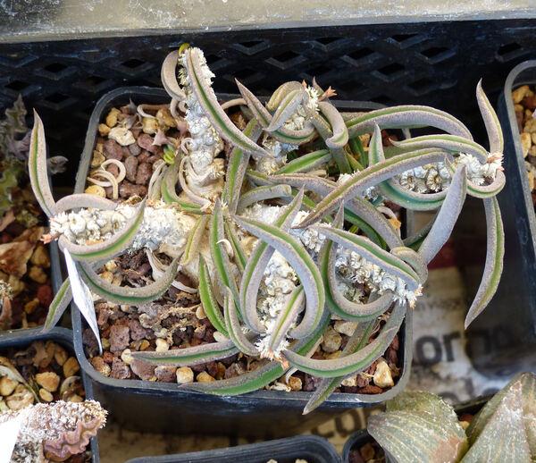 Euphorbia cylindrifolia Marn.-Lap. & Rauh subsp. tuberifera Marn.-Lap. & Rauh