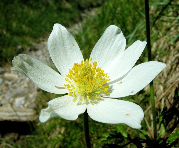 Pulsatilla alpina (L.) Delarbre
