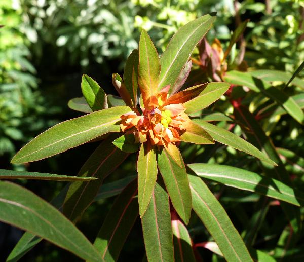 Euphorbia griffithii Hook.f. 'Fireglow'