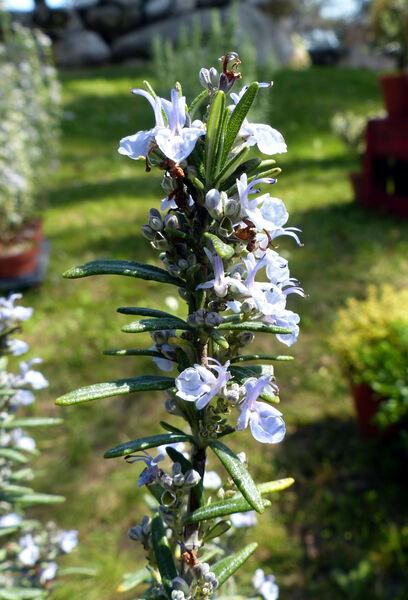 Salvia rosmarinus Schleid. 'Tuscan Blue'