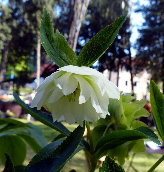 Helleborus orientalis Lam. 'Double White'